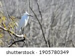 Snowy Egret Perched In Natural...