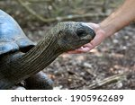 Giant Seychelles Turtle In The...