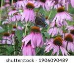 Butterfly On Purple Cone Flower ...