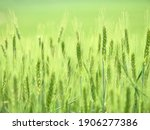 Wheat Ear Close Up Green Bokeh...