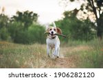 happy beagle dog running with... | Shutterstock . vector #1906282120
