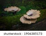 Tree Fungi Growing On A Fallen...