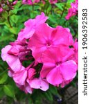 Small photo of Phlox paniculata, commonly called fall phlox or garden phlox, is a species of flowering plant in the phlox family