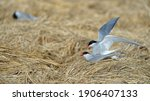 Arctic Arctic Tern  Sarctic...