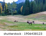 A Herd Of Wild Elk Foraging And ...