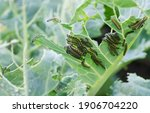 The caterpillars of the cabbage ...