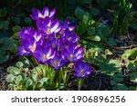Crocuses With Purple Petals On...