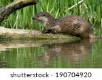 European Otter Reflected In...