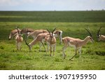 Small Herd Of Gazelle On Green...
