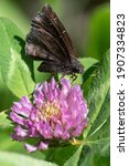 A Northern Cloudywing Butterfly ...