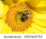 Bumblebee In Pollen On A...