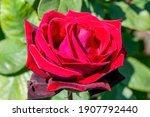 Rose 'deep Secret'  Rosa  A...