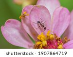 Macro Image Of An Ant On A Pink ...