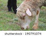 grazing sheep  ovis aries  in... | Shutterstock . vector #190791074