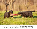 Stock photo rottweiler puppies playing with a sneaker 190792874
