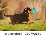 Stock photo rottweiler puppy running with a bowl in his mouth 190792880