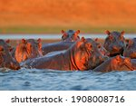 Hippo Head In The Blue Water ...