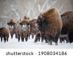 Bull Bison In Front Of Herd In...