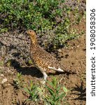 Ptarmigan Are Usually Seen In...