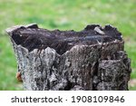 Uneven Tree Stump Surface With...