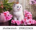 Kitten Breed Ragdoll And Pink...