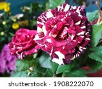 The Most Beautiful Rose Flower
