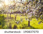 Blossoming Apple Orchard In...