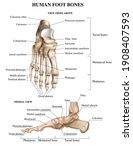 realistic foot bones anatomy... | Shutterstock .eps vector #1908407593