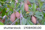 Close Up Fresh Sapodilla ...