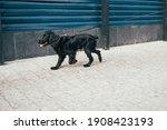 Black Cocker Spaniel Dog...