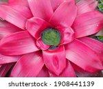 Bromeliad (Vriesea) tropical plant. Aechmea fasciata, Urn Plant, Bromeliaceae, guzmania. Bromeliad or vriesea flower in garden. Close up of bromeliad flower or Aechmea background urn plant.
