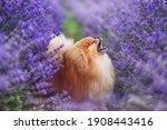 Cute Fluffy Dog In A Lavender...