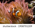 Ocellaris clownfish  amphiprion ...