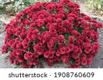 Bushy Chrysanthemums With Red...