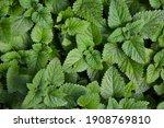 melissa plant. lemon balm in... | Shutterstock . vector #1908769810