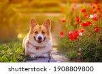 Cute Red Corgi Dog Lies In A...
