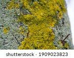 Yellow Lichen On A Tree  Lichen ...