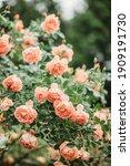 Delicate Peach Roses In A Full...