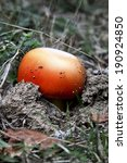 Small photo of The most beautiful edible mushrooms - Amanita caesarea