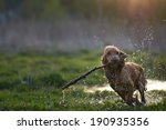 Redhead Spaniel Dog Running...