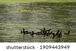 Eurasian Coot Or Common Coot Or ...