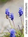 Grape Hyacint With Bee  Flowers ...