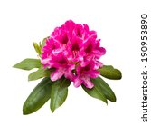 Pink Rhododendron Flowers...