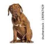 Dogue De Bordeaux Puppy Sittin...