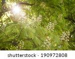 Flowering Chestnut Tree ...