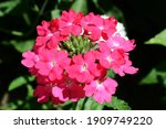 Pink Verbena Hybrida Blooming....