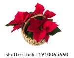 Top View Of Isolated Poinsettia ...
