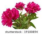 Paeonia officinalis flowers isolated on white background - stock photo