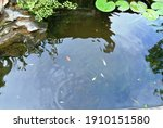 A Small Pond With Water Lilies  ...