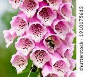 Bee In Flower Of Foxglove ...